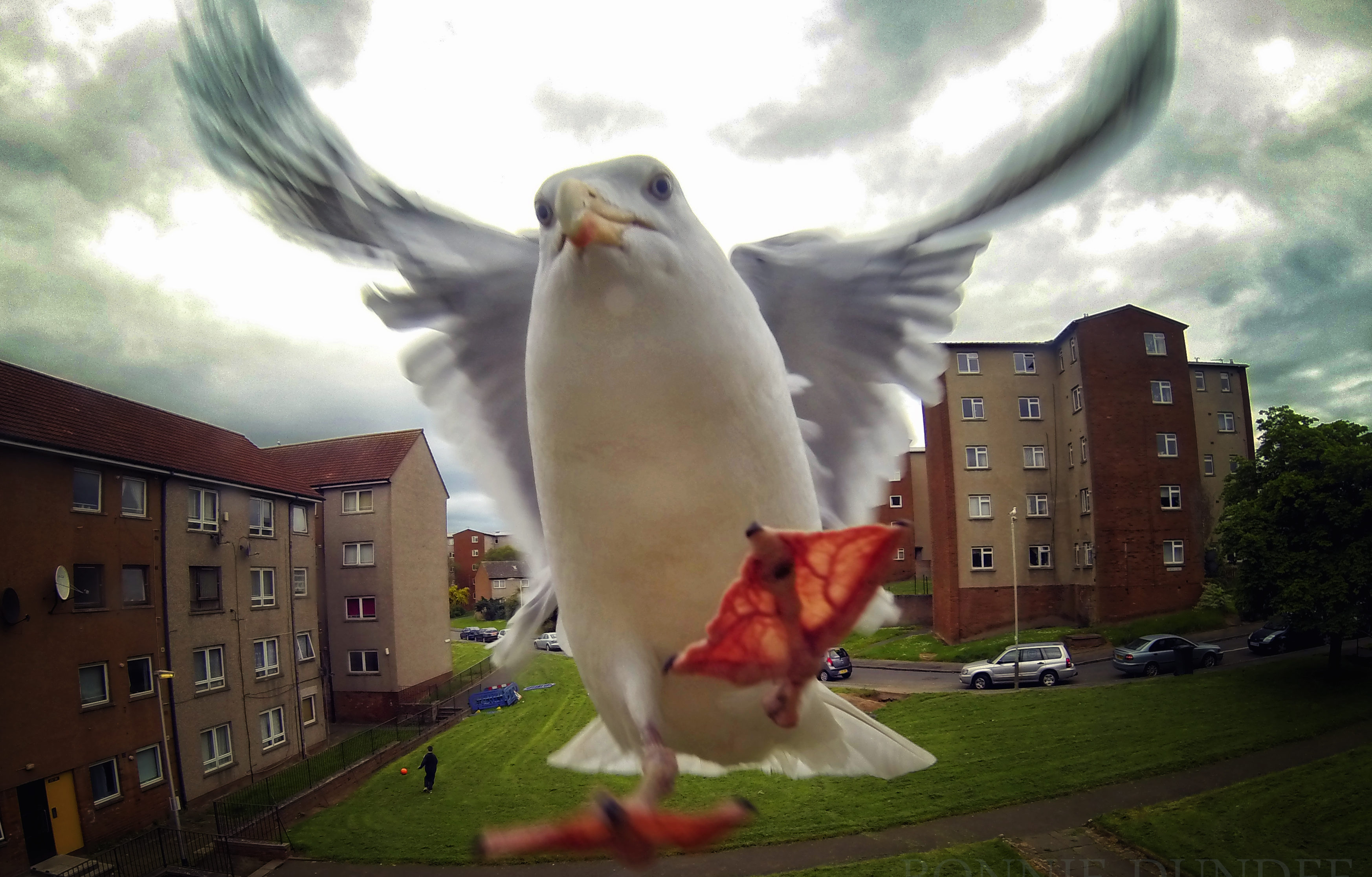 A seagull swoops for scraps in Menzieshill area of Dundee