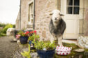 Hamish the sheep at the Airbnb near Loch Lomond