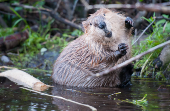 Beavers have been reintroduced to Scotland, for the first time in 400 years.