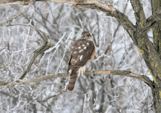 A Sparrowhawk sits on the branch in a winter forest
