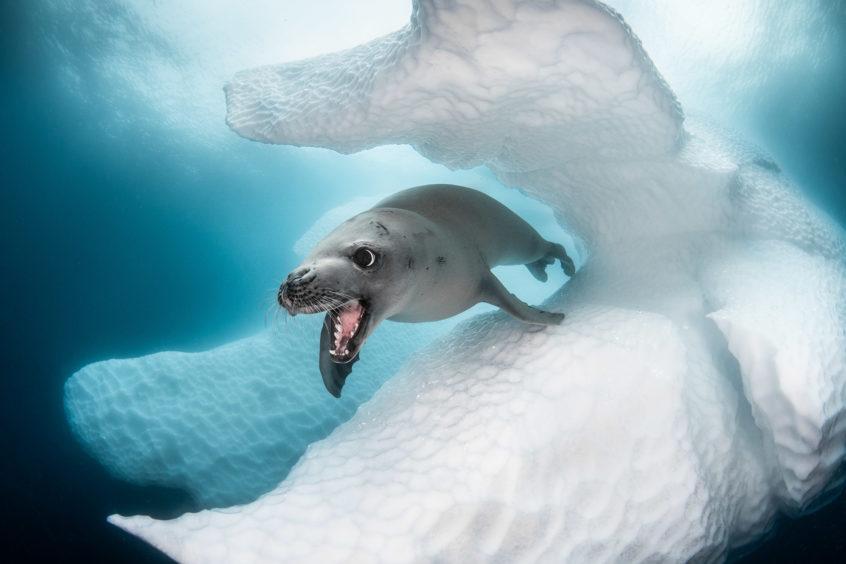 Greg Lecoeur - Crabeater seal