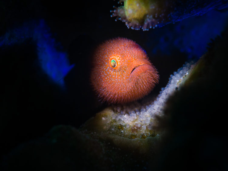 Stan Chen - Ponda Goby with eggs