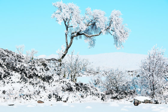 A snow-covered birch tree