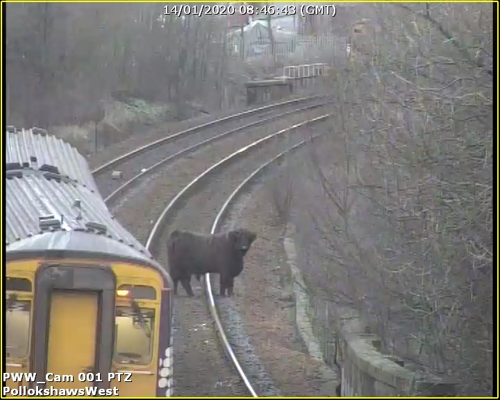 Highland Cows on the tracks