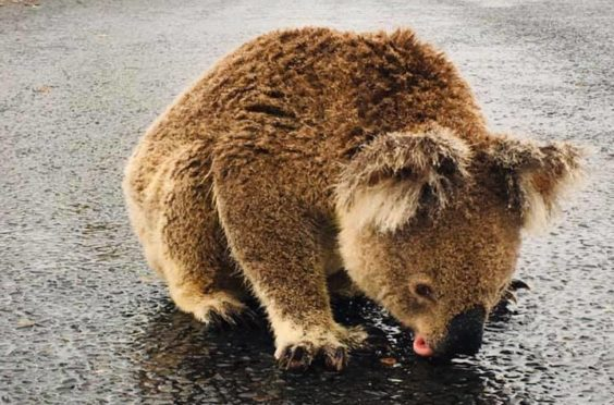 A koala bear quenches its thirst by drinking rainwater off a road near Moree, New South Wales