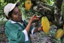 A harvester cuts cocoa bean pods from a tree in Sapecho, Bolivia