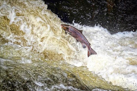 Atlantic Salmon leaping in turbulent waterfalls in Perthshire