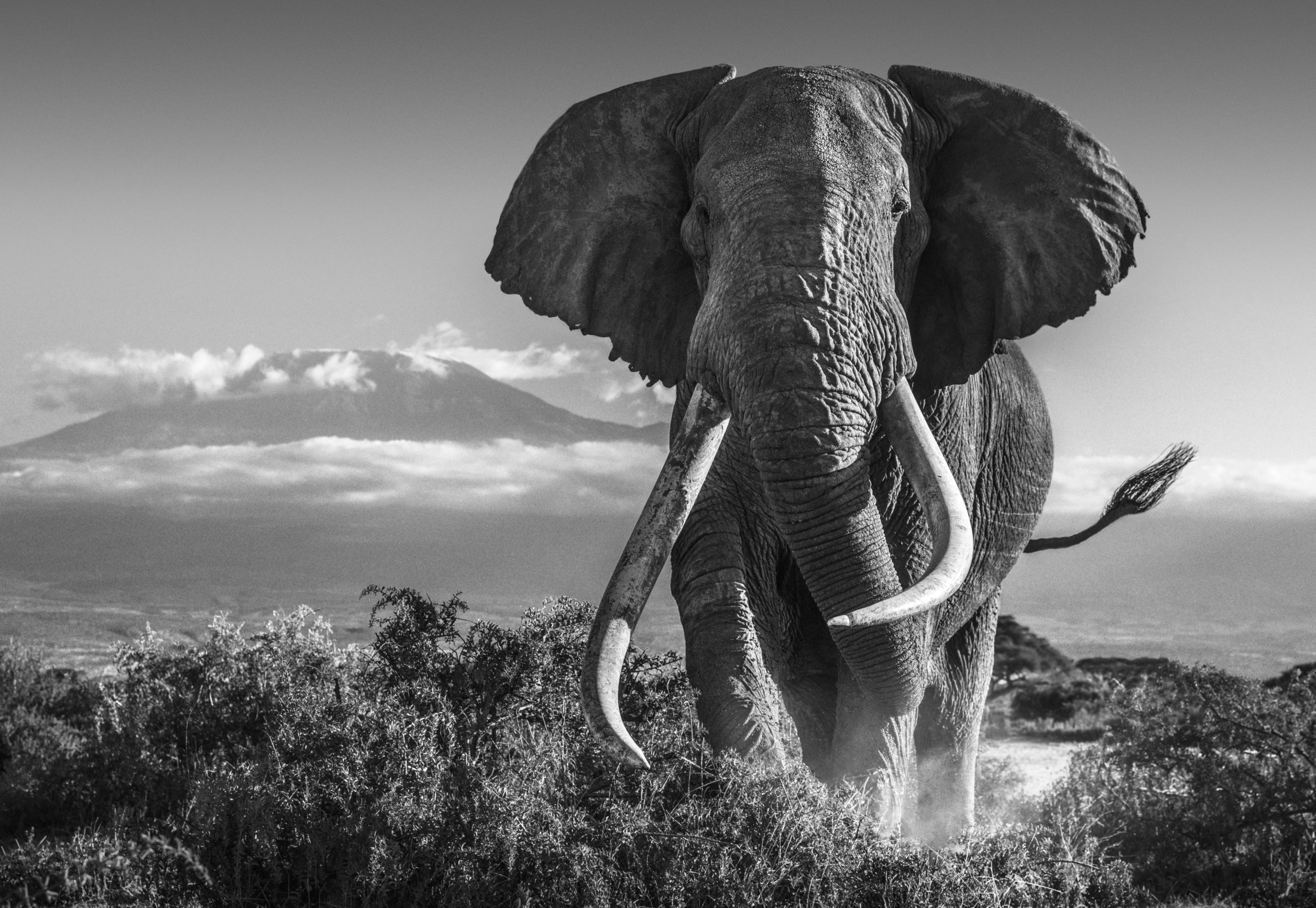"""David says: """"There can be little doubt this image is a career highlight and unquestionably the most warmly received photo I have taken. I will always treasure this image. I doubt I will ever take a more powerful portrait of either an elephant or East Africa. To find him in the open in the foothills of Kilimanjaro offered a lucky opportunity and we took it."""""""