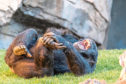This chimpanzee clearly knows the benefits of a good laugh