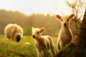 Lambs where they belong – in a field with their mother