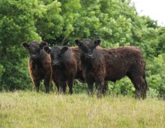 Scottish beef producers to share £40m in subsidy payments