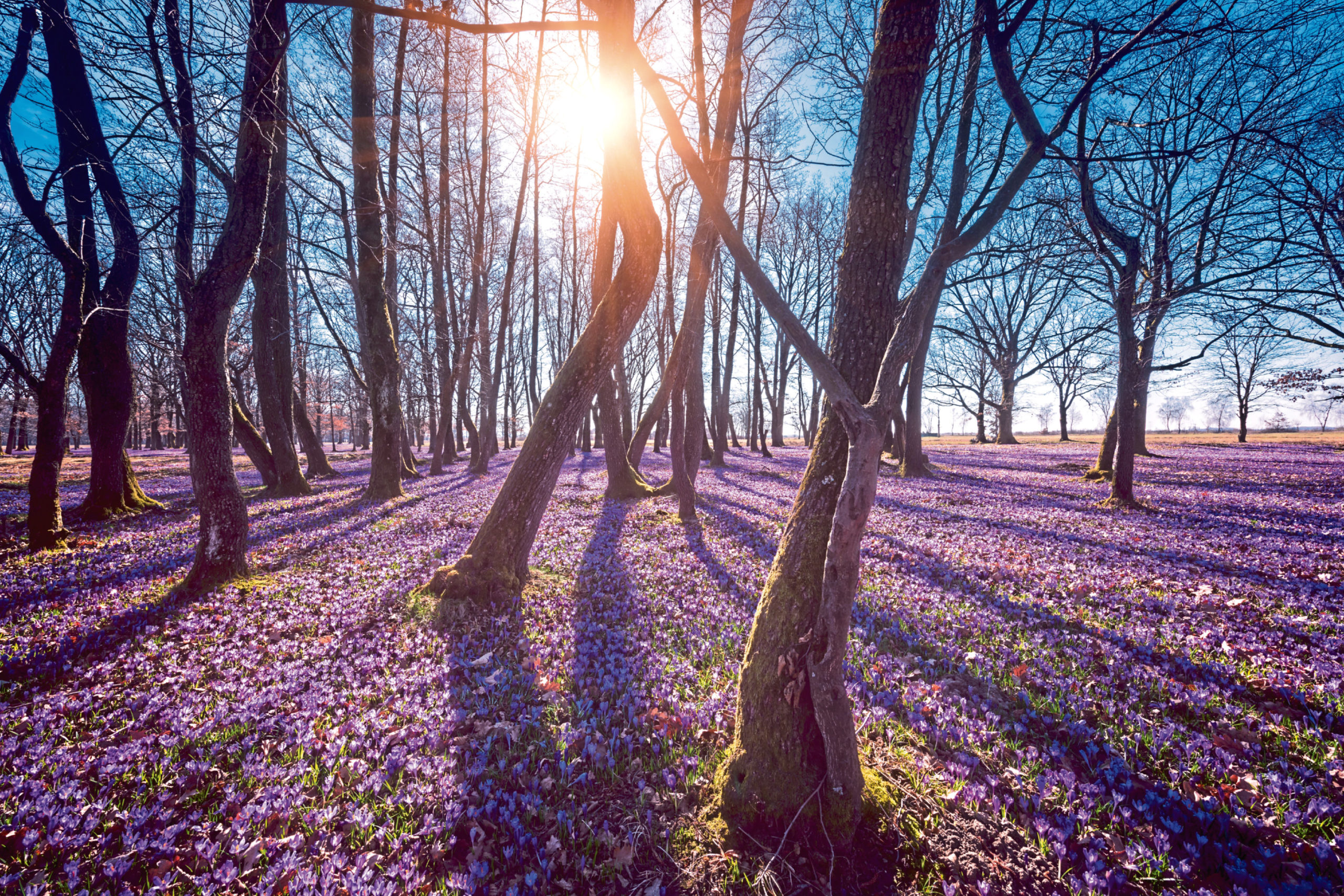 A carpet of violet crocuses is a beautiful sight to behold