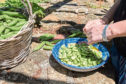 Broad beans are easy to grow – and they are delicious