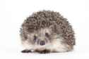 Hedgehogs are among the animals thriving as lockdown keeps drivers off the deserted roads of Scotland