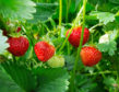 Whether they are eaten as a mini-treat before you even leave the garden, savoured with lashings of cream, or turned into jam, you can never grow too many strawberries