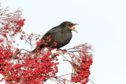 A blackbird enjoys  a berry from rowan tree, one of species being rewilded at Dundreggan