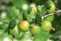 Gooseberries are just about ready to harvest