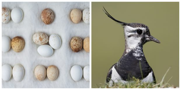 Acclaimed lensman captures endangered birds' stunning                  Scots habitats and wants legacy egg collection to help protect their future