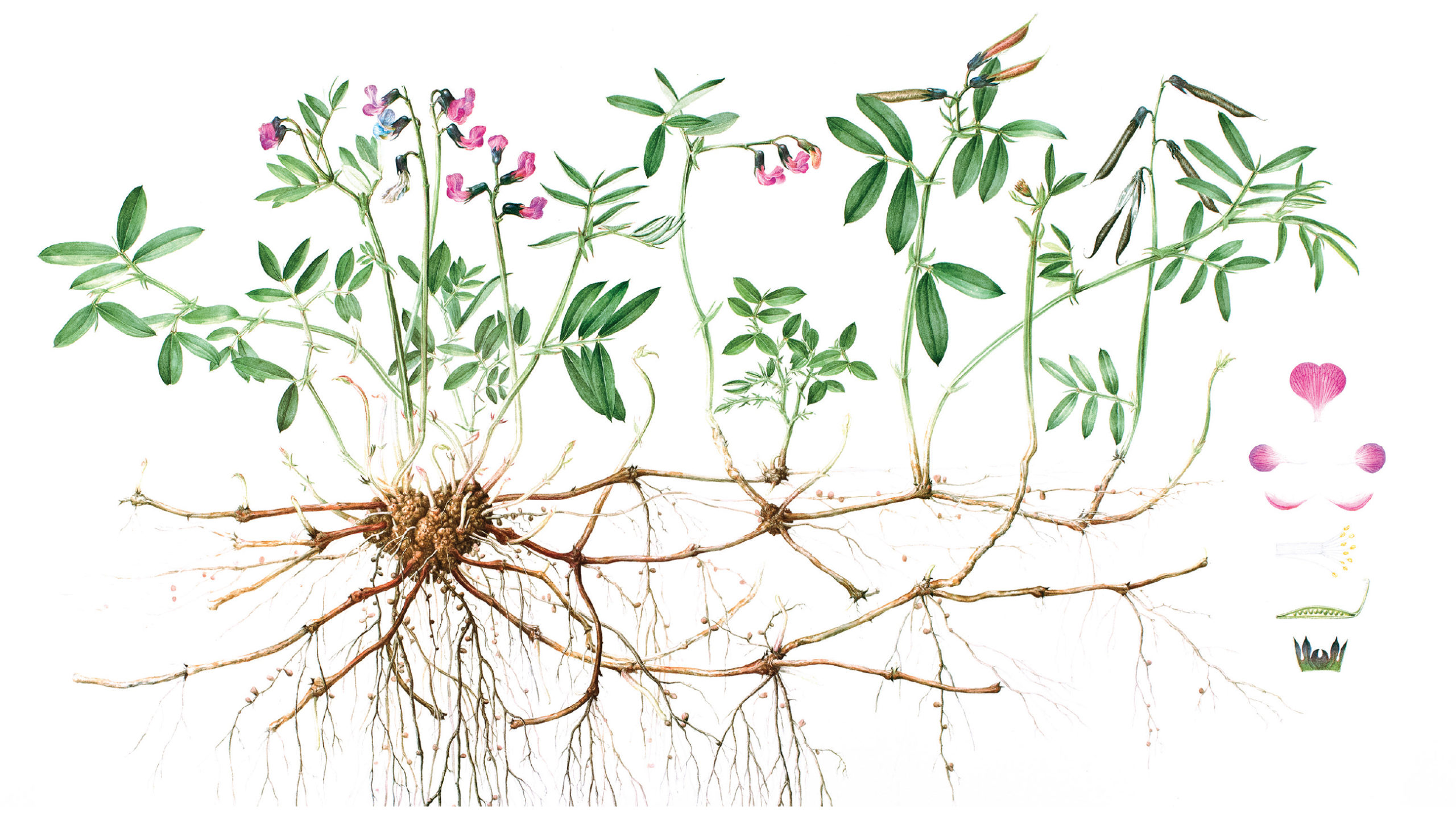 Bitter vetch illustrated by Sarah Roberts