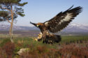 A golden eagle in flight in the Highlands