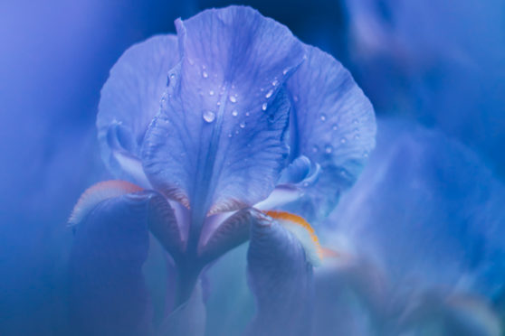 While beautiful flowers such as this purple iris are in bloom, there are still plenty of jobs to be done in the garden