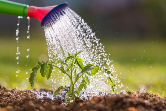 Watering is time-consuming during dry spells