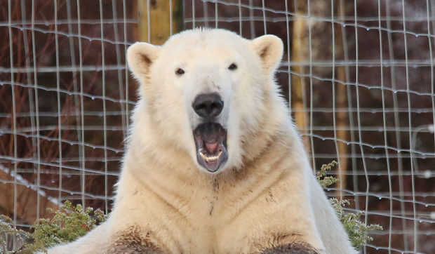 Hamish the polar bear