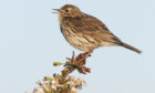 Up to 3,000 meadow pipits may be at risk