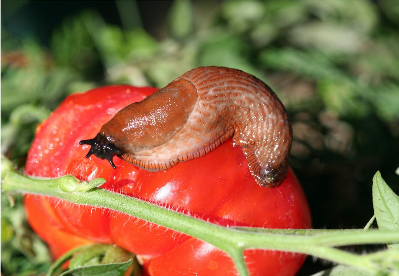 Spanish slug