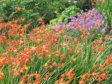 Crocosmias add swathes of vibrant colour