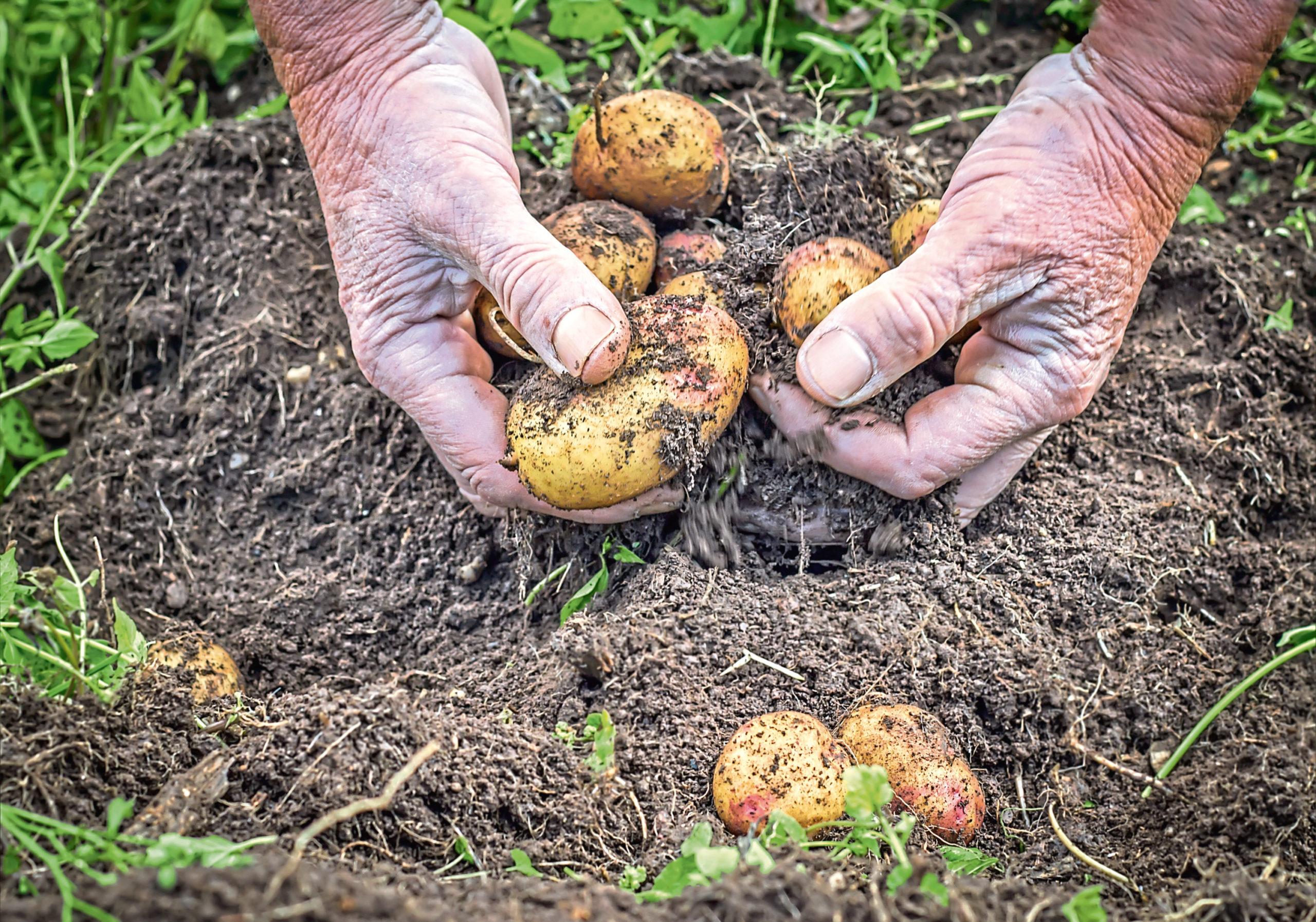 Fresh potatoes grown at home taste so much better