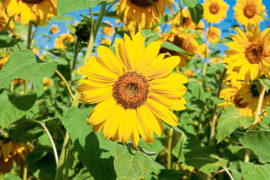 Beautiful sunflowers bring sunshine to your garden and are hardy