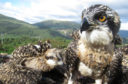 Loch Arkaig osprey chicks