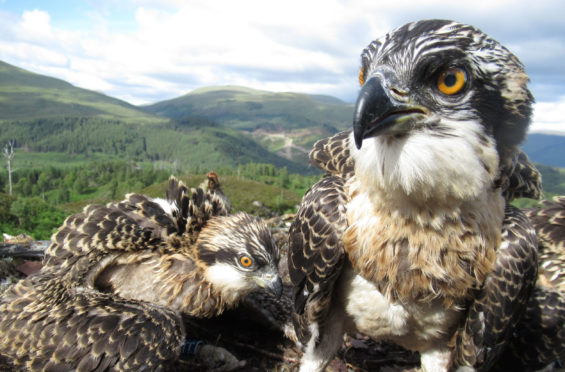 Loch Arkaig osprey chicks