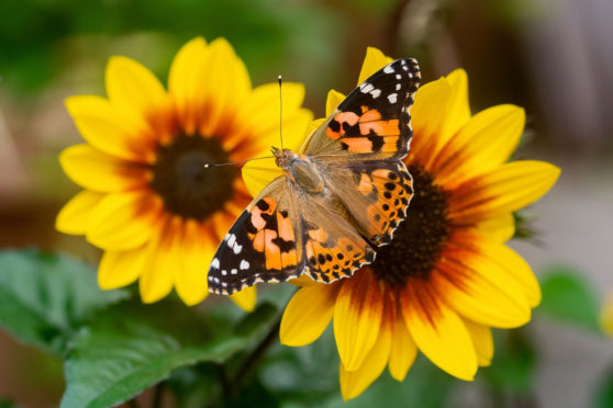 People who found solace in nature during the lockdown are being urged to join the annual butterfly count