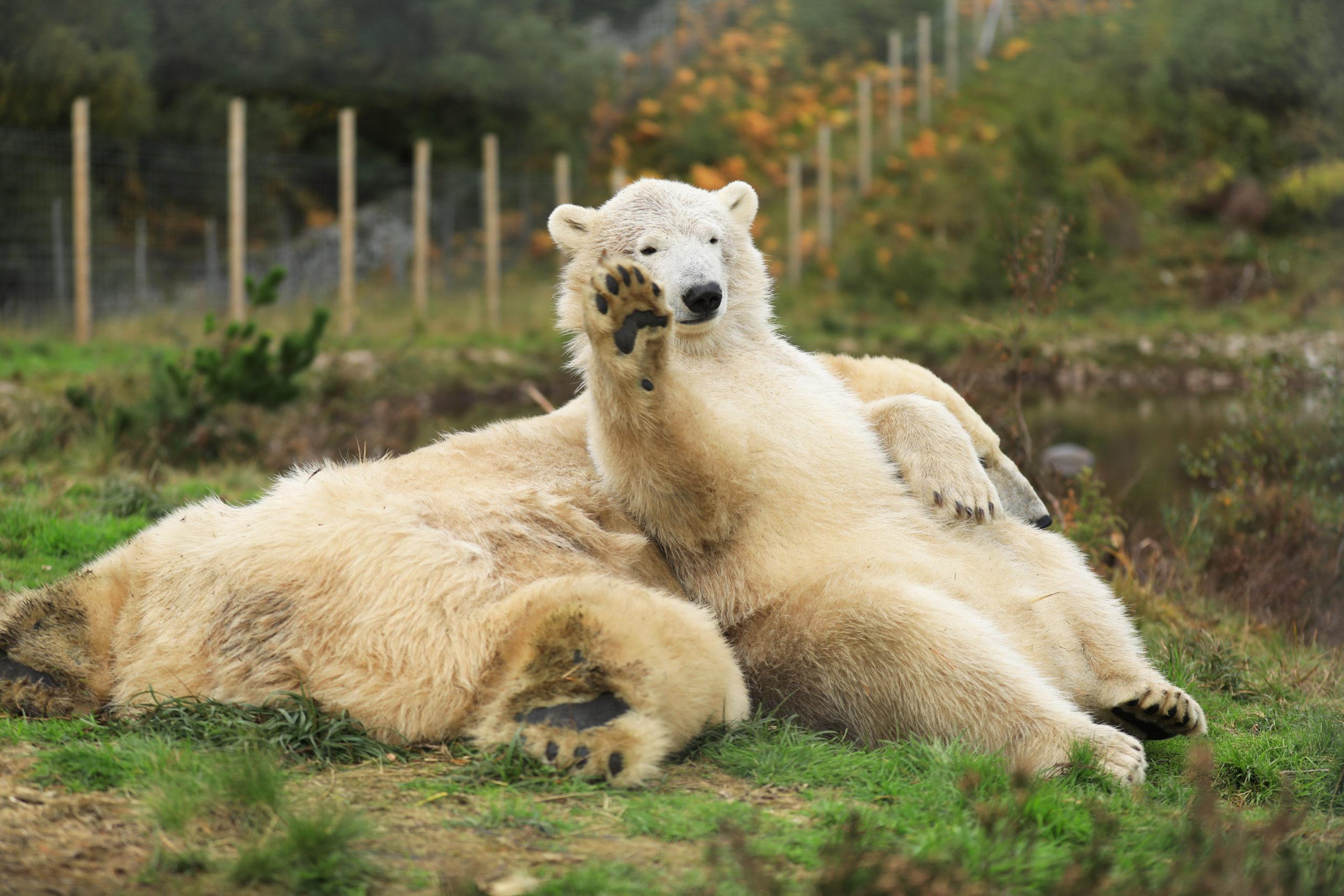 Hamish the polar bear waves to visitors at Highland Wildlife Park