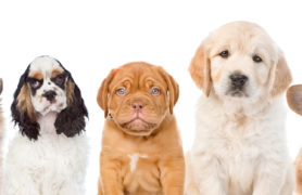Scottish SPCA warn of the dangers of next-day delivery culture in online puppy trade