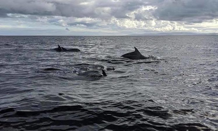 Dolphins playing off the coast of Arran.