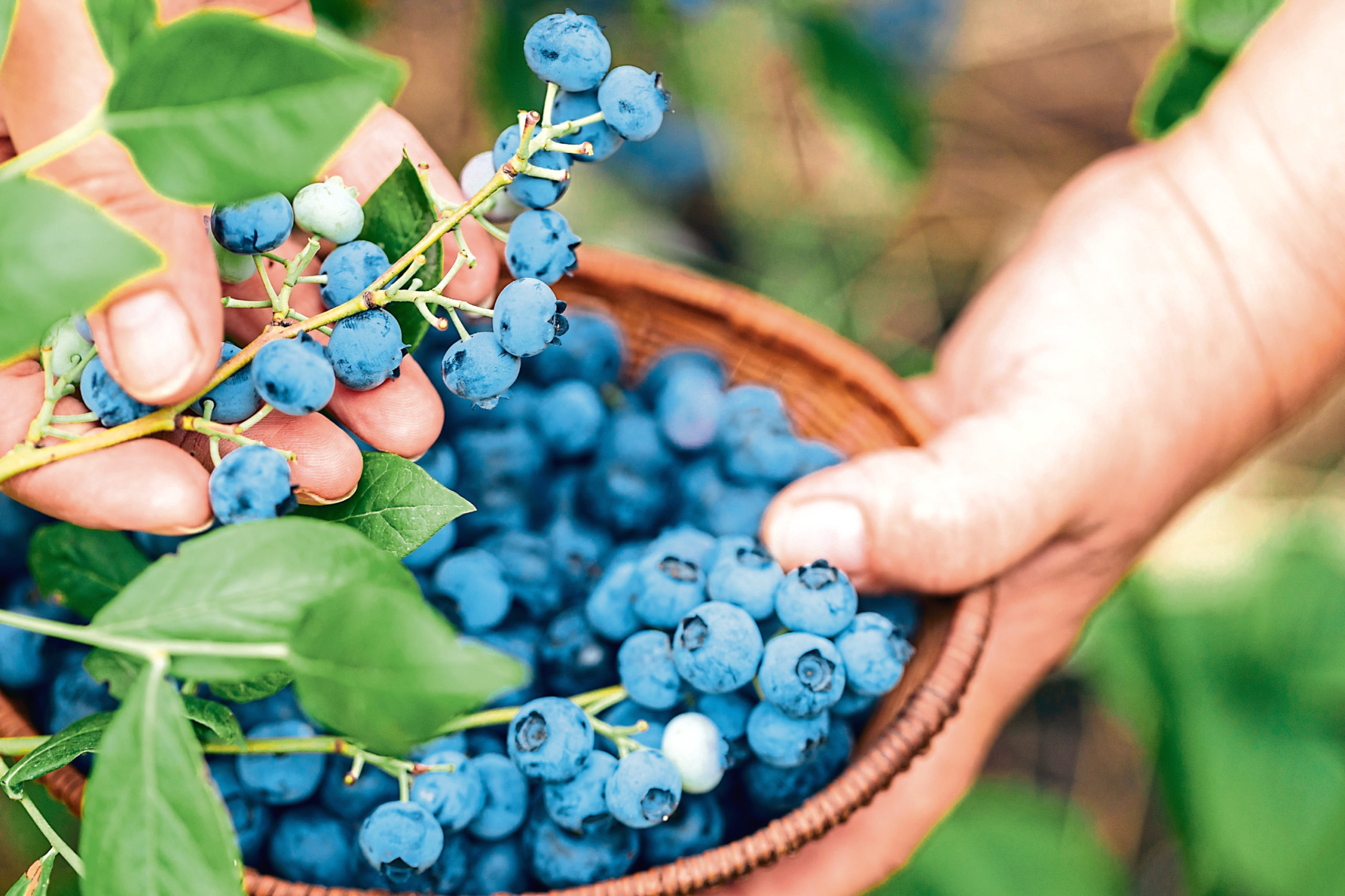 Blueberries thrive in our climate and acidic soils