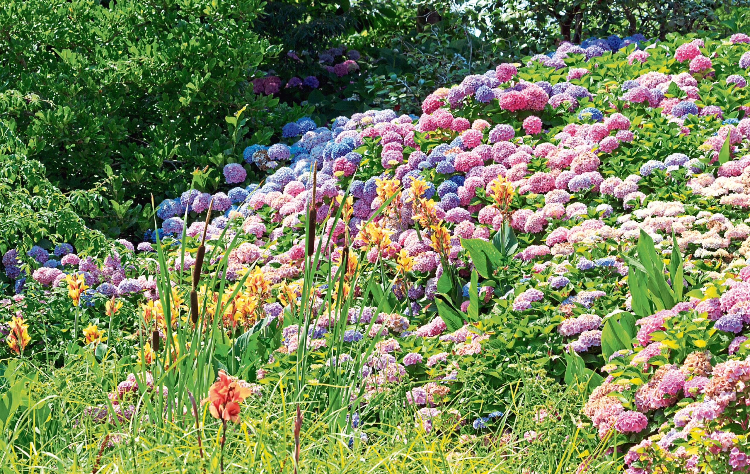Huge hydrangeas in full bloom
