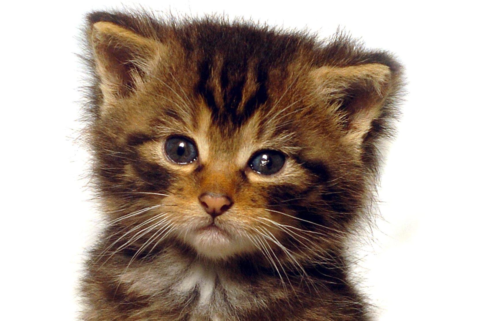 A Scots wildcat kitten
