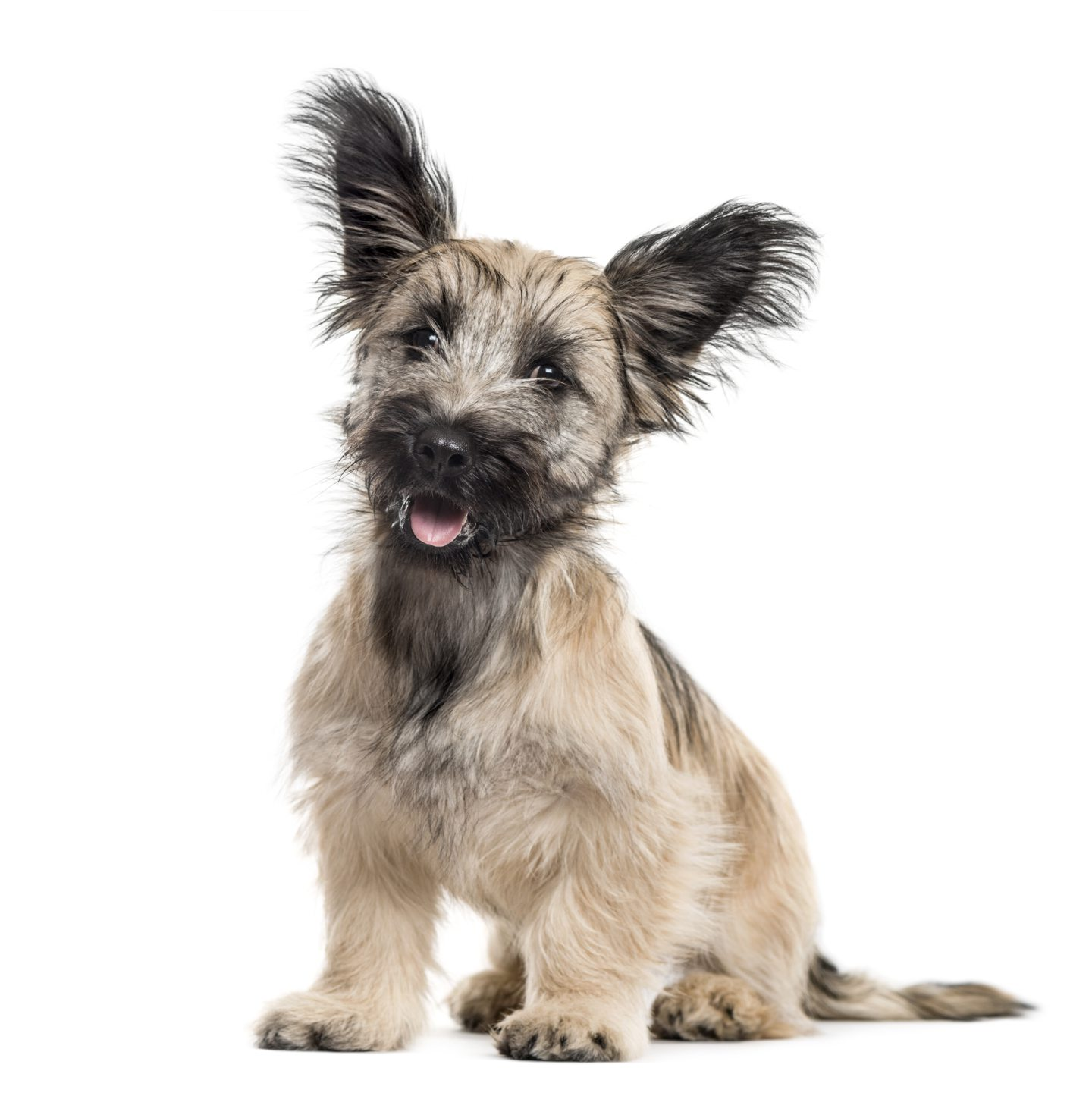 Skye terrier owners urged to join global DNA sweep to pull ...
