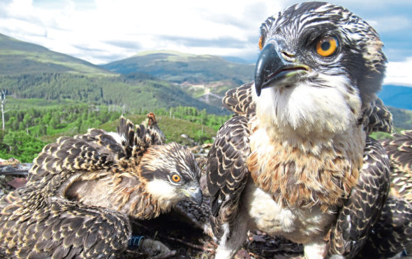 Osprey chicks Doddie and Vera