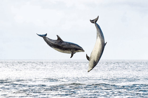 Bottlenose dolphins breaching in the Moray Firth
