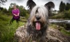 Skye terrier owner Marie Hamilton takes one of her two terriers for a walk near her home in Larkhall