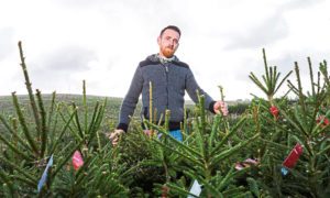 Workers at Murial Farm near Insch in Aberdeenshire begin to harvest this years crop of Christmas Trees as they prepare for the festive season.