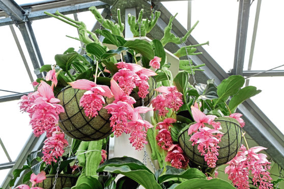 Medinilla magnifica, as seen in the movie adaptation of Rebecca, is easy to maintain