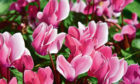 The pink and white flowers of the cyclamen hederifolium are guaranteed to brighten up the mood in your garden in the dark days of winter