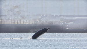 Whales on the Clyde: Operation to herd pod away ahead of Joint Warrior navy exercise continues