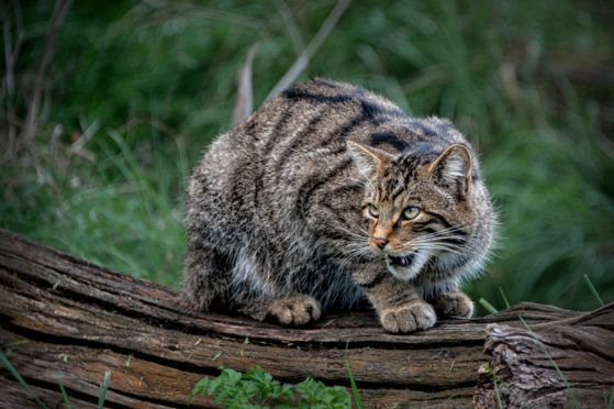 A wildcat among the bushes